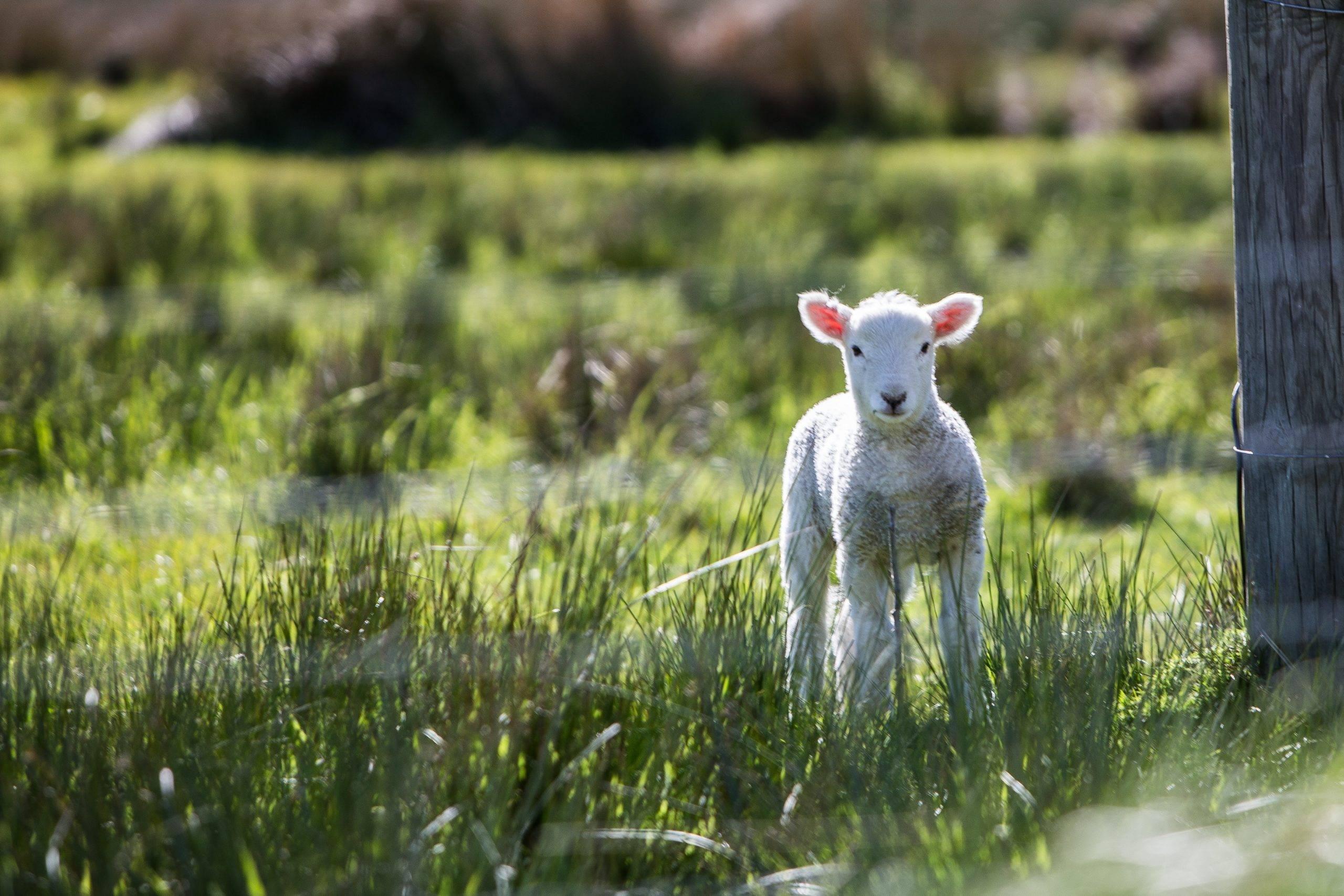 Das Kleid des Lammes